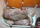 Pytláctví opět na vzestupu. Policisté vyšetřují zastřelení jelena