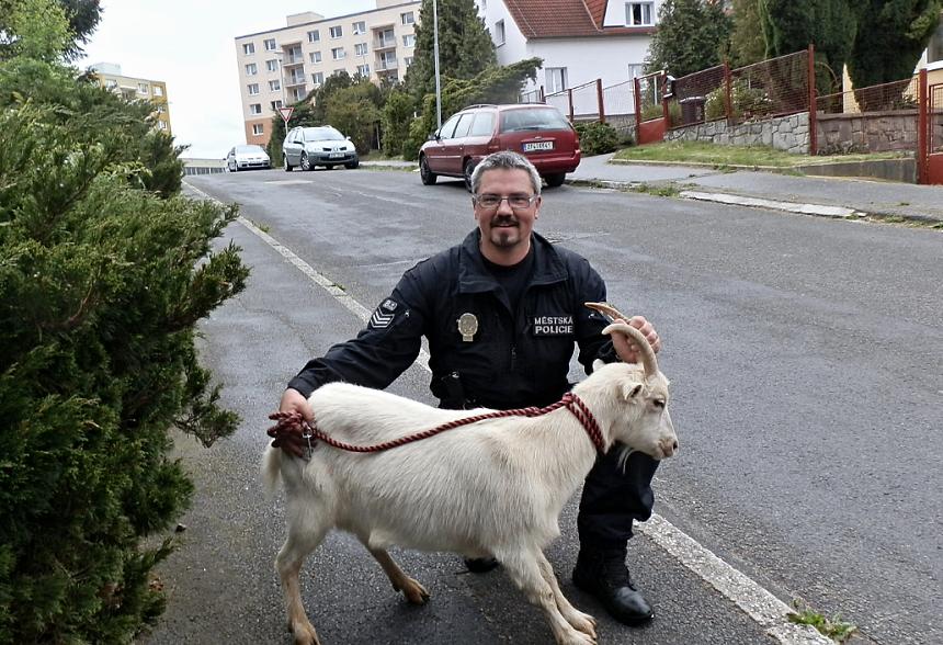 běhající koza v ulicích plzně, mpplzen.cz