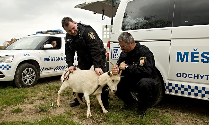 utíkající koza v ulicích plzně, MPPlzeň - pužmanová